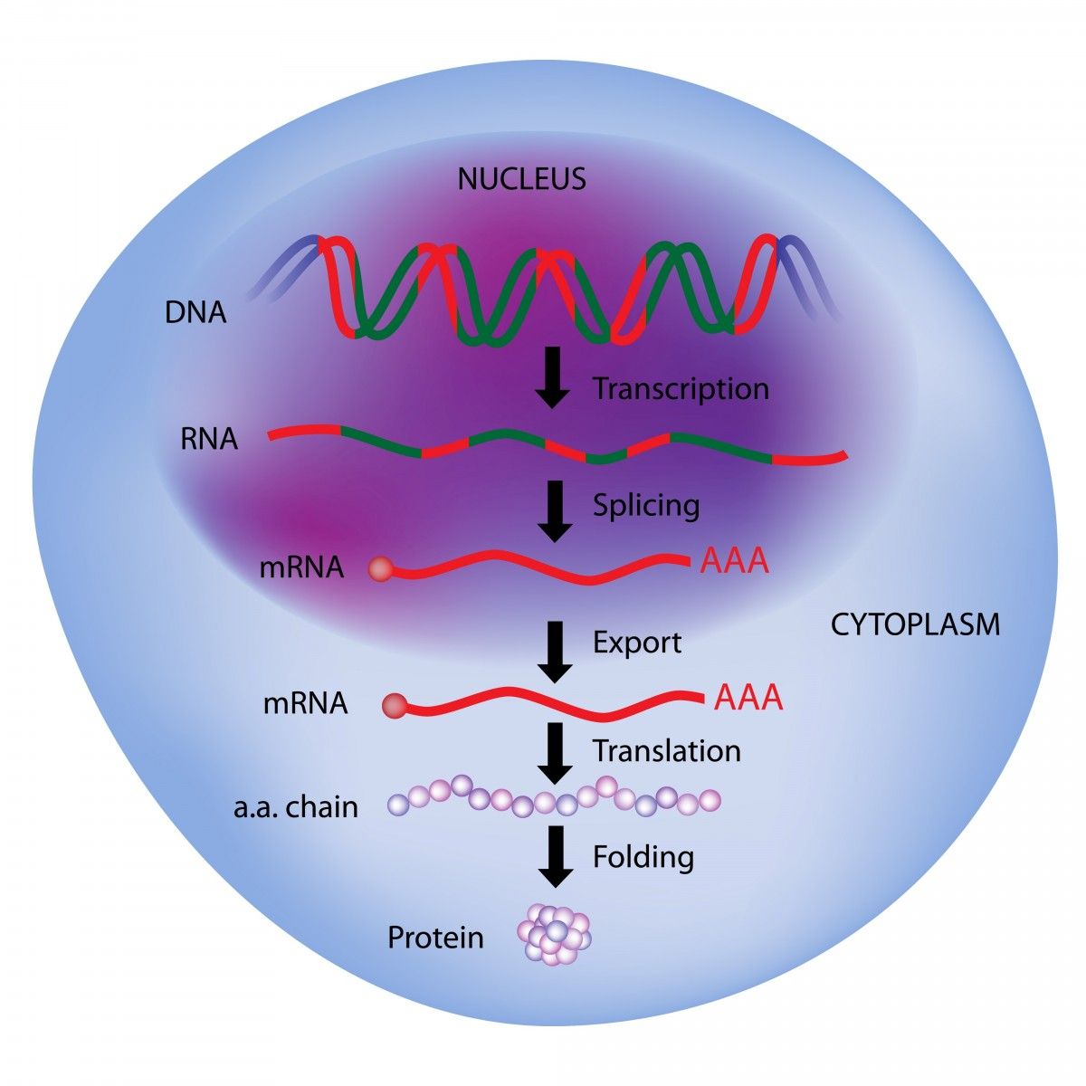 Correcting Splicing Error Restores SMN in SMA Patient Cells
