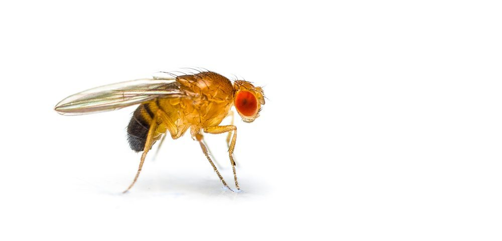 Scientists Re-create All Human SMA Types, Including Type 4, in Fruit Fly Models