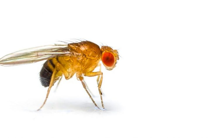 SMN protein, fruit fly