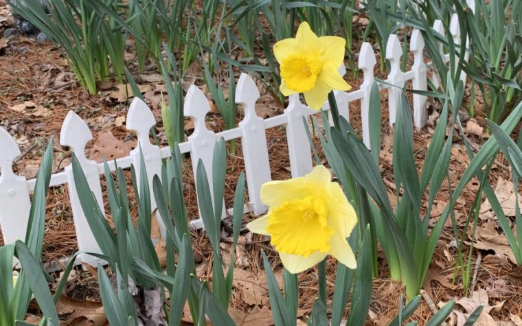daffodils, optimism