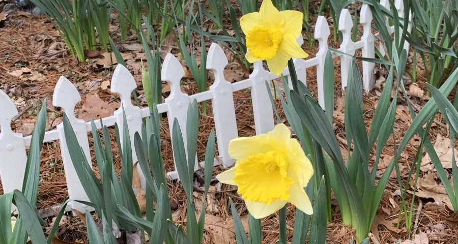 Devastation, Disruption, Despair, and Daffodils