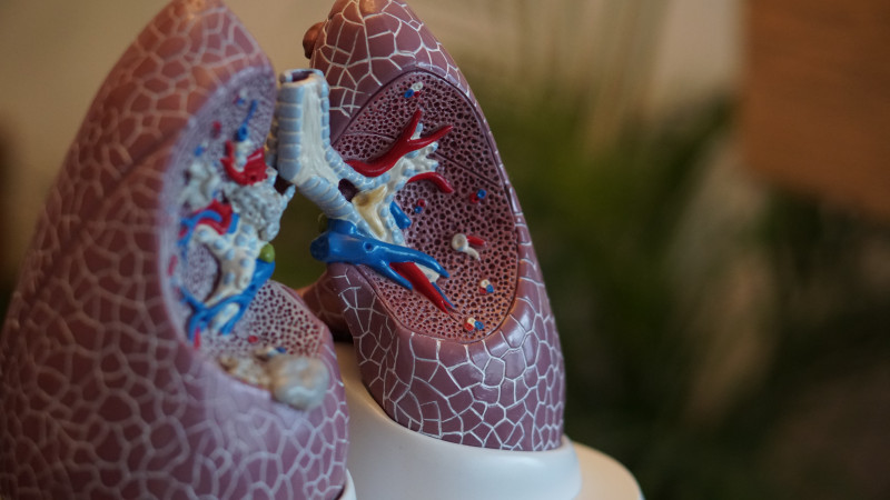 Spinraza | SMA News Today | Treatments | Plastic model of lungs